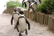 пингвины / ЮАР