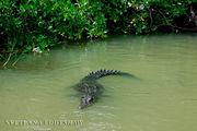 Крокодил, очень сонный / Ямайка