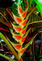 Национальный цветок Ямайки - иллирия / Ямайка