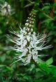 Цветок 'кошачьи усики' / Ямайка