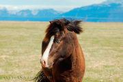 Голубоглазая лошадь / Исландия