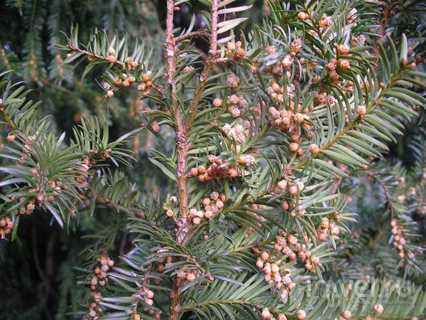 Необычные шишки на неизвестной елке / Фото из Франции