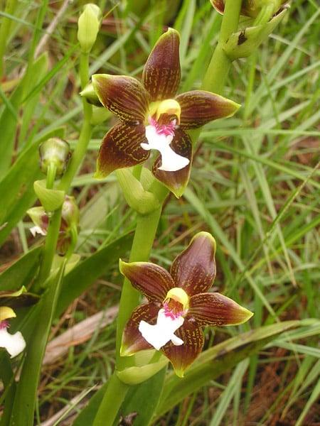 Венесуэльские орхидеи / Фото из Венесуэлы