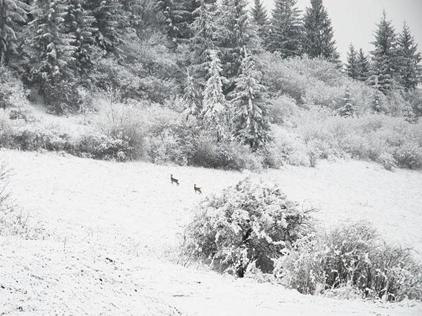 Олени в зимней Словакии / Фото из Словакии