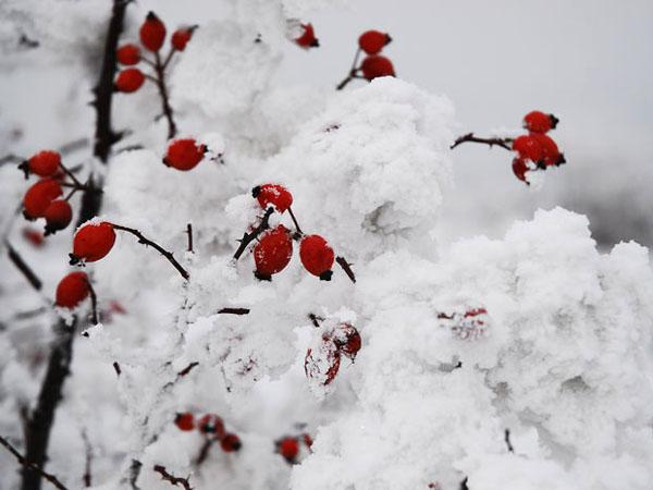 """Красные ягоды в белом """"облаке"""" / Фото из Словакии"""