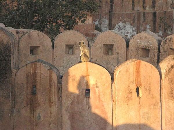 Мартышка на стенах крепости Джайгарх  / Фото из Индии