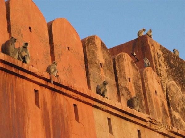 Еще обезьянки / Фото из Индии