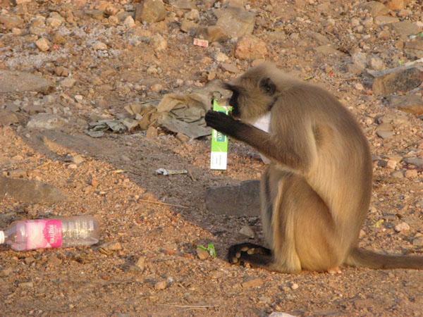 И здесь обезьяны клянчат еду / Фото из Индии