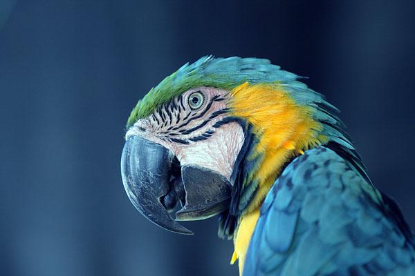 Сине-желтый ара, Эквадор  / Фото из Эквадора