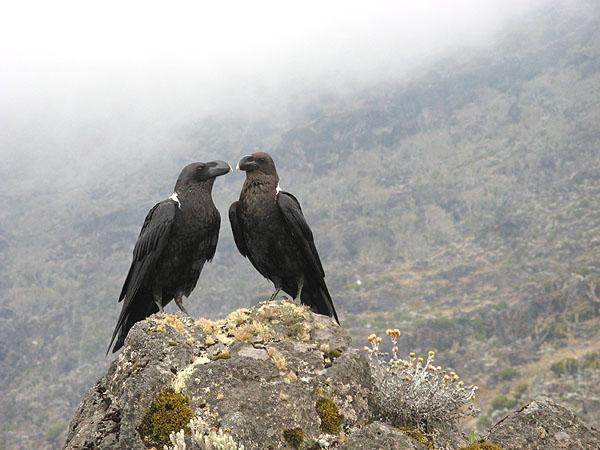 Вороны - обитатели склонов Килиманджаро / Фото из Танзании