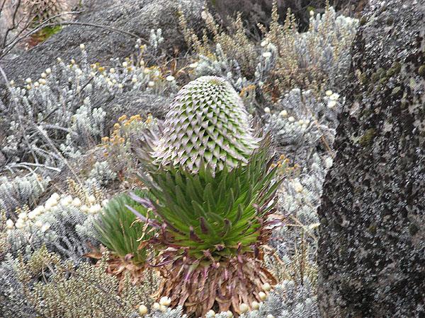 Растение лобелия, Килиманджаро / Фото из Танзании