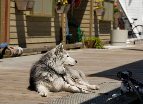 Собака на Рыбацкой пристани, Виктория / Фото из Канады