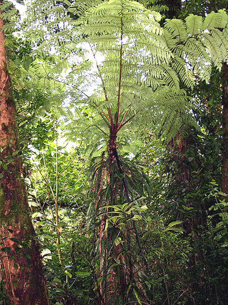 Древовидный папоротник - обязательное дополнение зеленому паттерну Монтеверде / Фото из Коста-Рики