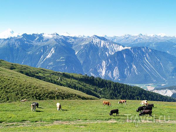 Стадо альпийских коров / Фото из Швейцарии