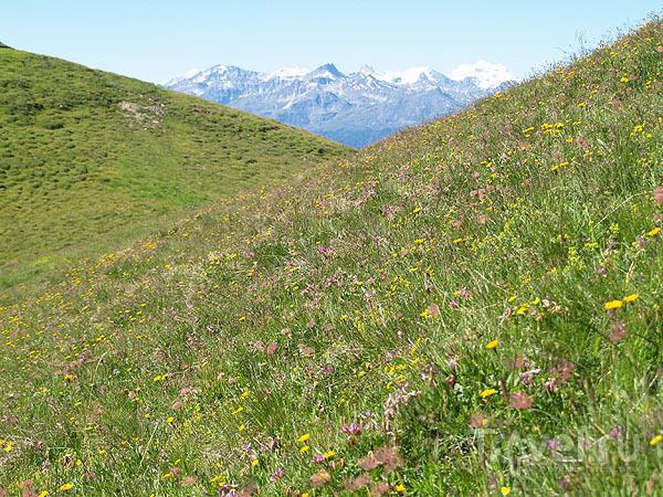 Альпийский луг на Торренте / Фото из Швейцарии
