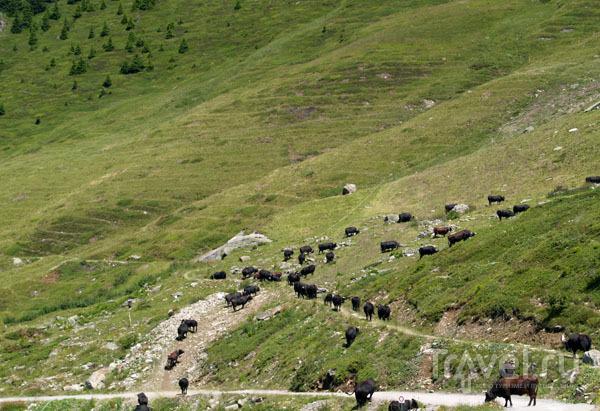 Черные коровы - водятся только в Вале / Фото из Швейцарии