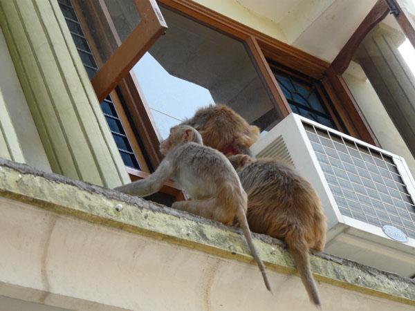 Обезьяны пытаются пробраться в номер Green Hotel / Фото из Индии