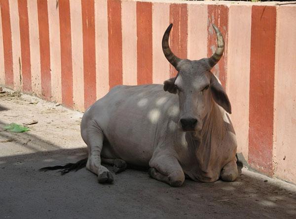 Наша любимая корова в Ришикеше / Фото из Индии