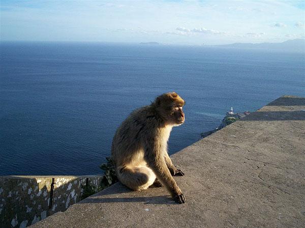 Макаки в больших количествах живут в Гибралтаре / Фото из Марокко