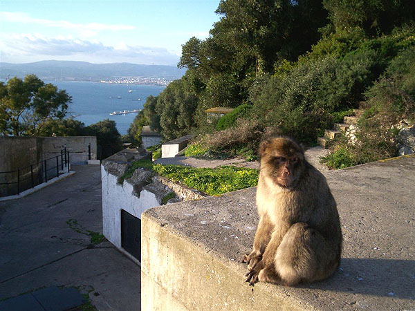 Очередная гибралтарская обезьяна / Фото из Марокко