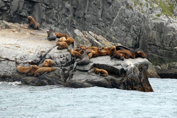 Сивучи - обитатели Командорских островов / Фото из России