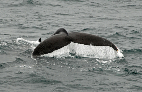 Хвост горбатого кита / Фото из России