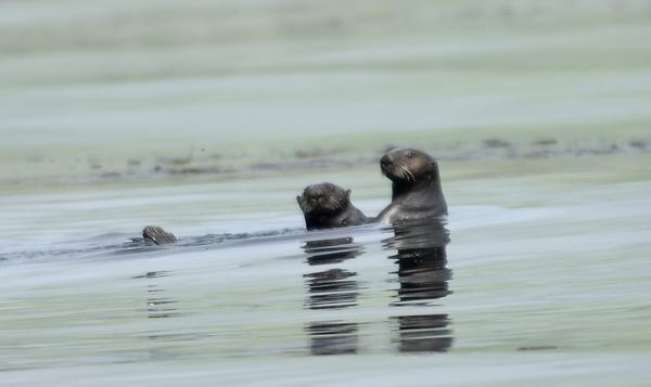 Семейство каланов в зарослях морской капусты / Фото из России