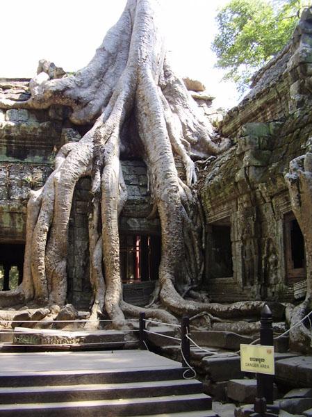 Гигантские деревья в древнем храме / Фото из Камбоджи