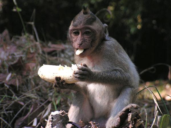 Обезьянка с бананом, Камбоджа / Фото из Камбоджи