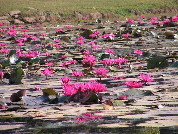 Яркие нимфеи можно увидеть повсюду, Камбоджа / Фото из Камбоджи