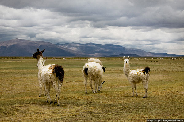 Ламы на просторах Боливии / Фото из Боливии