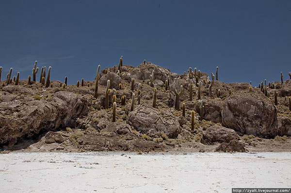 Кактусы на берегах солончака Уюни / Фото из Боливии