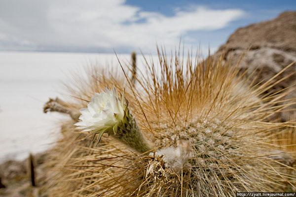Цветущий кактус, солончак Уюни / Фото из Боливии
