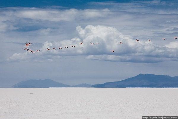 Фламинго летят над солончаком Уюни / Фото из Боливии