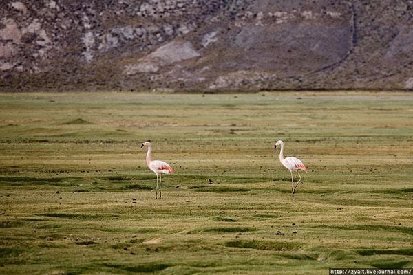 Андский фламинго на берегах Уюни, Боливия / Фото из Боливии
