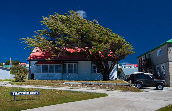 Постоянный ветер придает причудливую форму деревьям на Фолклендах / Фото с Фолклендских островов