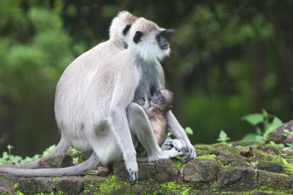 Семейство обезьянок у крепости Сигирия, Шри-Ланка / Фото со Шри-Ланки
