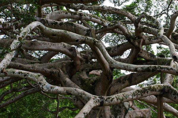 Оригинальное дерево в саду Перадения / Фото со Шри-Ланки