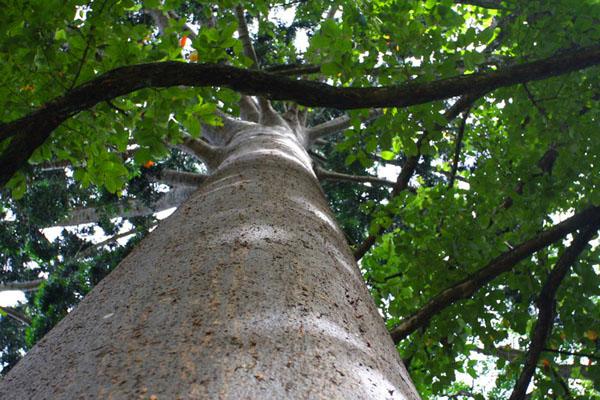 Железное дерево в саду Перадения / Фото со Шри-Ланки
