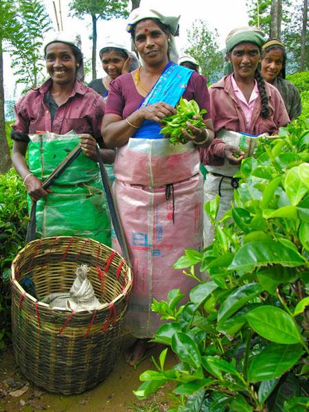 Сборщицы чайных листьев на Шри-Ланке / Фото со Шри-Ланки