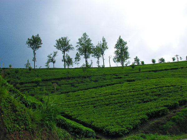 Нувара-Элия - чайная столица Шри-Ланки / Фото со Шри-Ланки