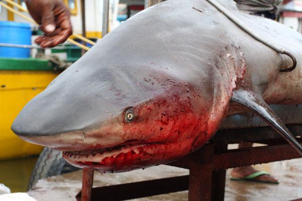 Выловленная акула на рыбном рынке в Хиккадуве, Шри-Ланка / Фото со Шри-Ланки