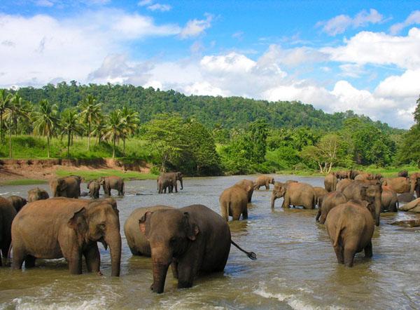 Слоны нежатся в реке, Шри-Ланка / Фото со Шри-Ланки