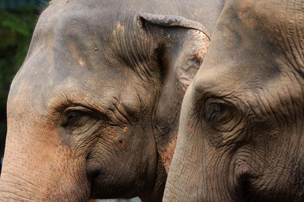 Питомник слонов Пиннавела, Шри-Ланка / Фото со Шри-Ланки