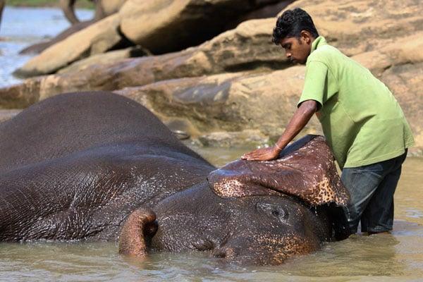Купание слона в питомника Пиннавела / Фото со Шри-Ланки