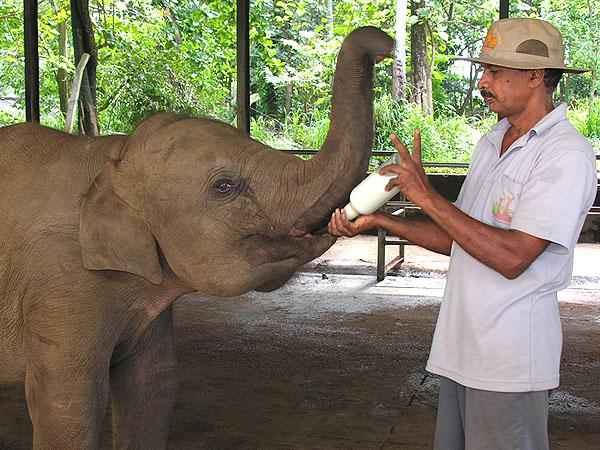 Кормление слоненка в питомнике, Пиннавела / Фото со Шри-Ланки
