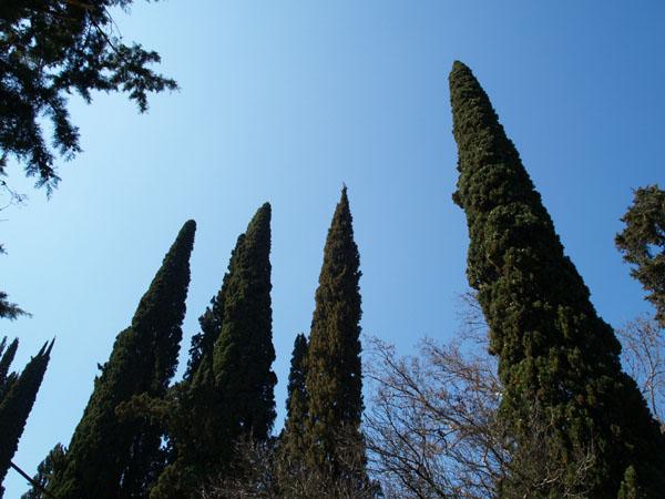 Высоченные кипарисы в Новом Афоне / Фото из Абхазии