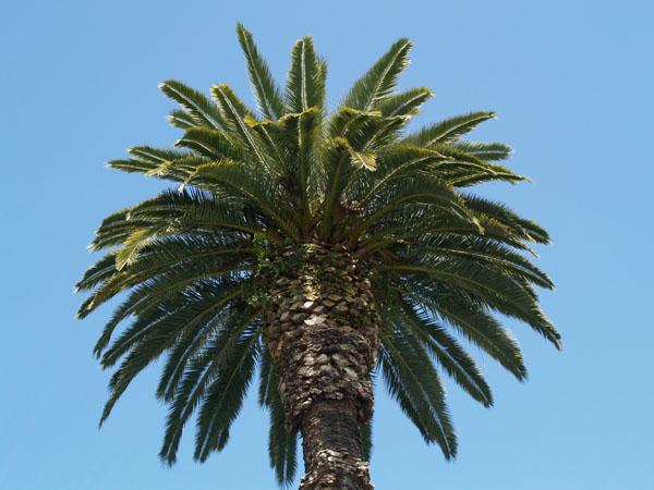 Пальма в столице Абхазии / Фото из Абхазии