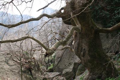 Деревья в скалах / Греция