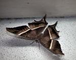 Бабочка-монстр / Филиппины